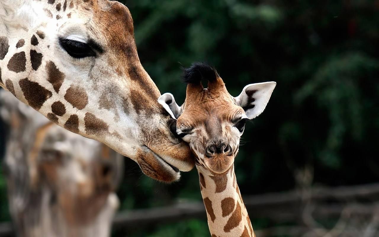 Жираф фото животного