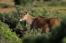 Антилопа канна фото