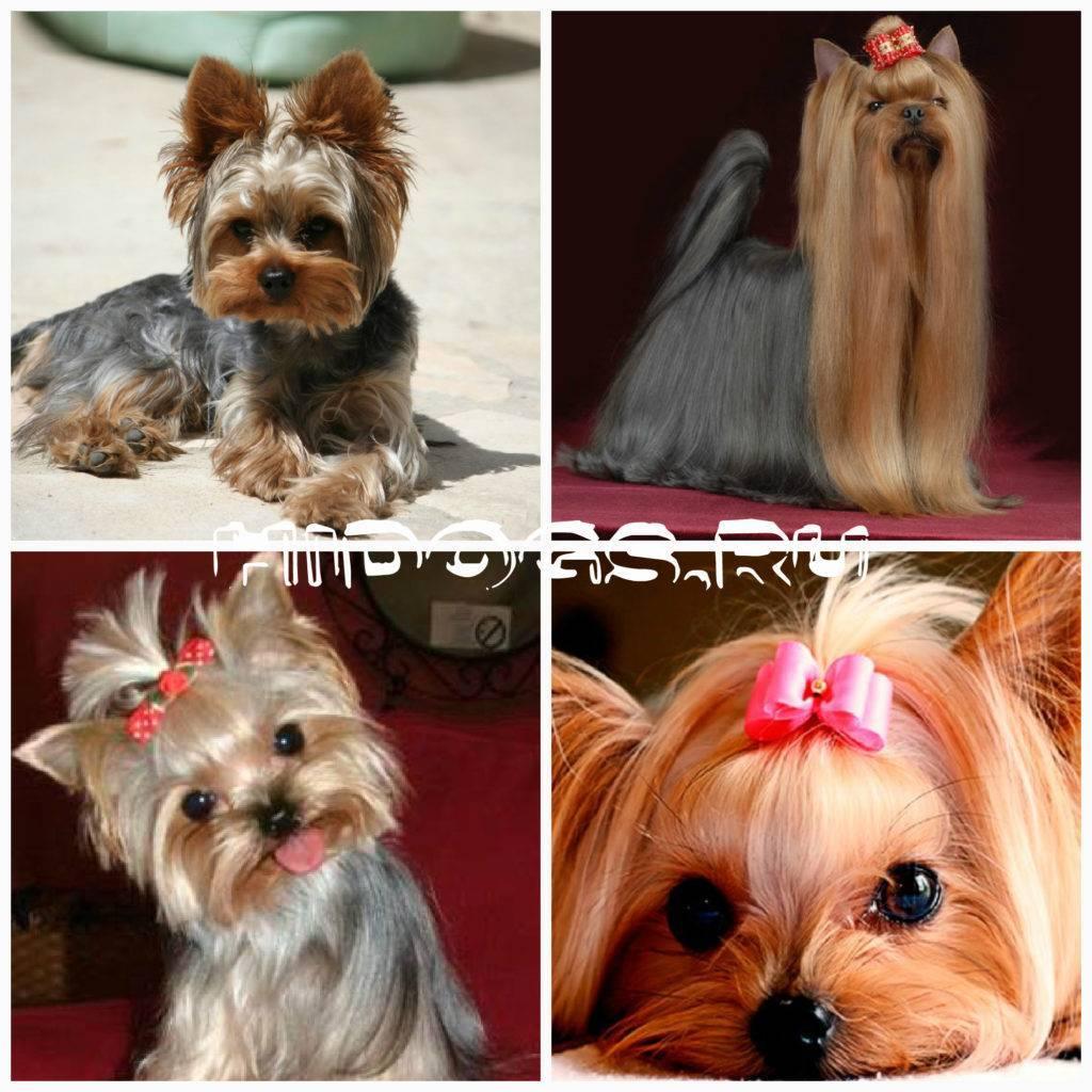 Самые умные маленькие породы собак