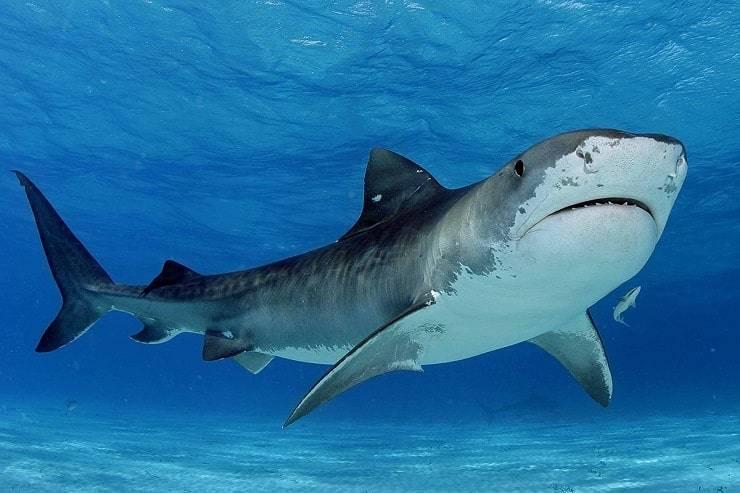 Тигровая акула интересные факты