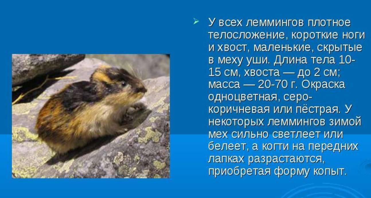 Лемминг животное тундры сообщение