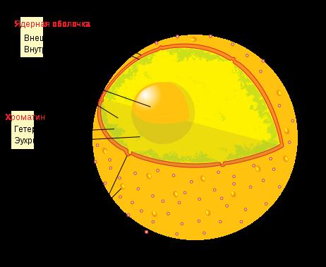 Характеристика ядра клетки