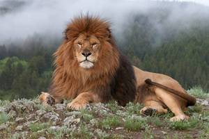 Тварина лев