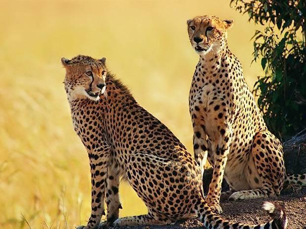 Гепард место обитания