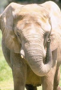 Слон домашнее или дикое животное