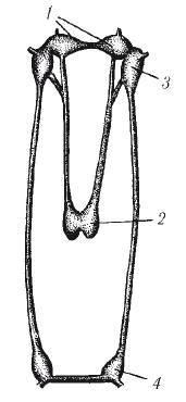 Кровеносная система двустворчатых моллюсков