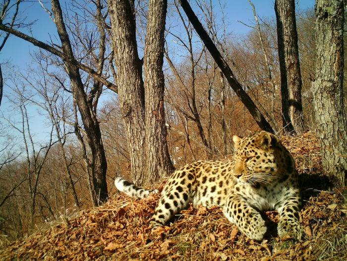 Дальневосточный амурский леопард интересные факты