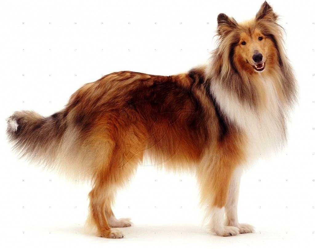 Большие собаки для квартиры