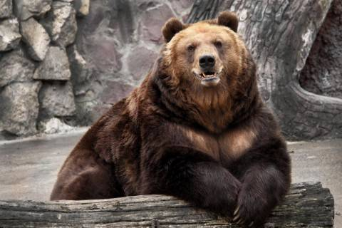 Есть ли у медведя хвост фото