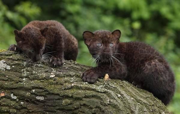 Пантера среда обитания