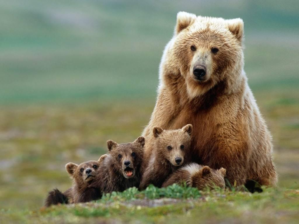 Медведь масса тела