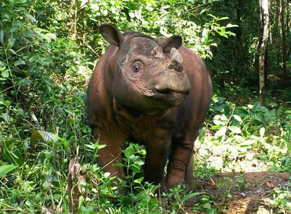 Где обитает носорог материк