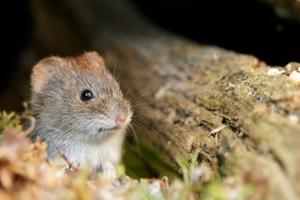 Чем питается мышь полевка