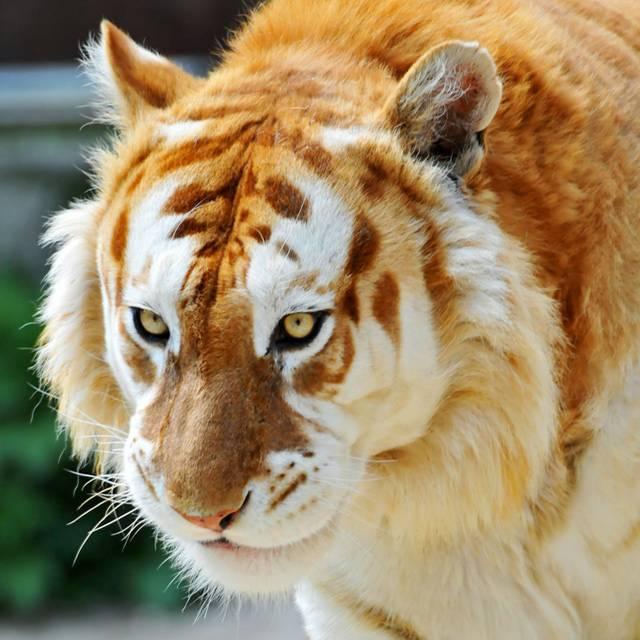 Тигр ареал обитания