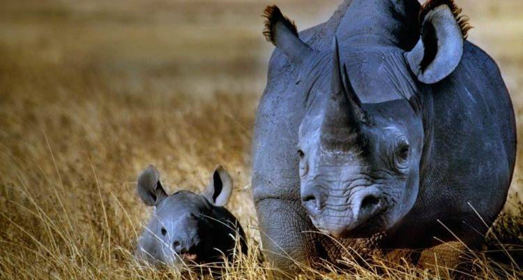 Носорог хищник или травоядное