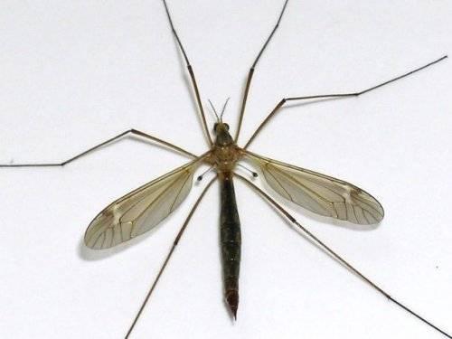 Самое большое насекомое в мире фото