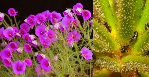 Где растут плотоядные растения