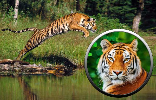 Тигр семейство кошачьих