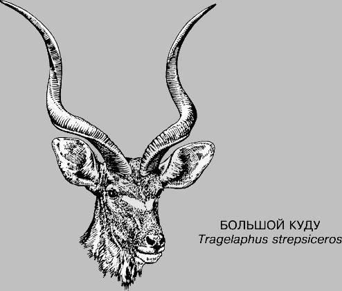 Антилопы фото и названия