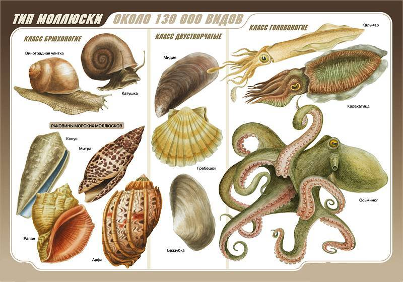 Характеристика типа моллюски