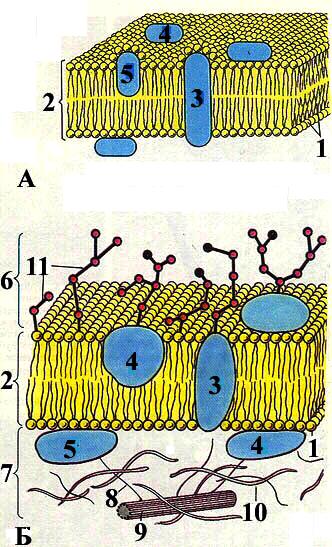 Основные положения клеточной теории сформулировали