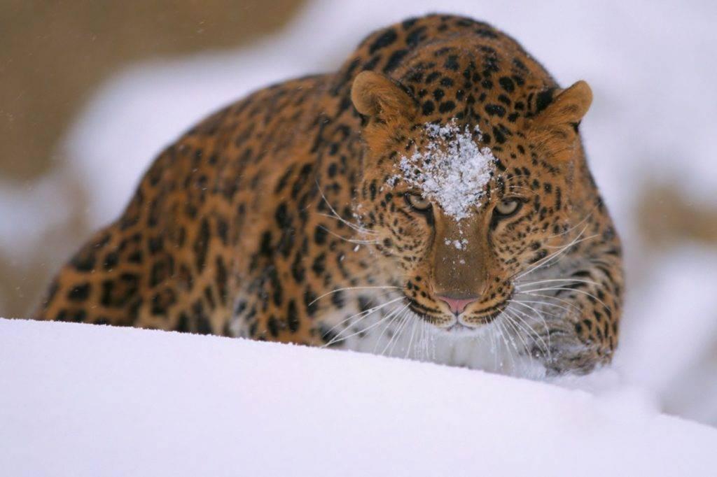 Сообщение о дальневосточном леопарде