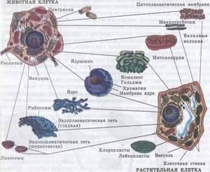 Сходство клеток растений и животных