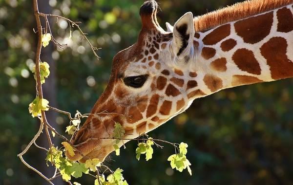 Жизнь жирафа в дикой природе