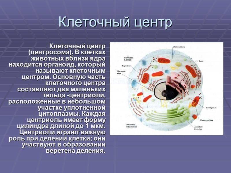 Клеточный центр в животной клетке