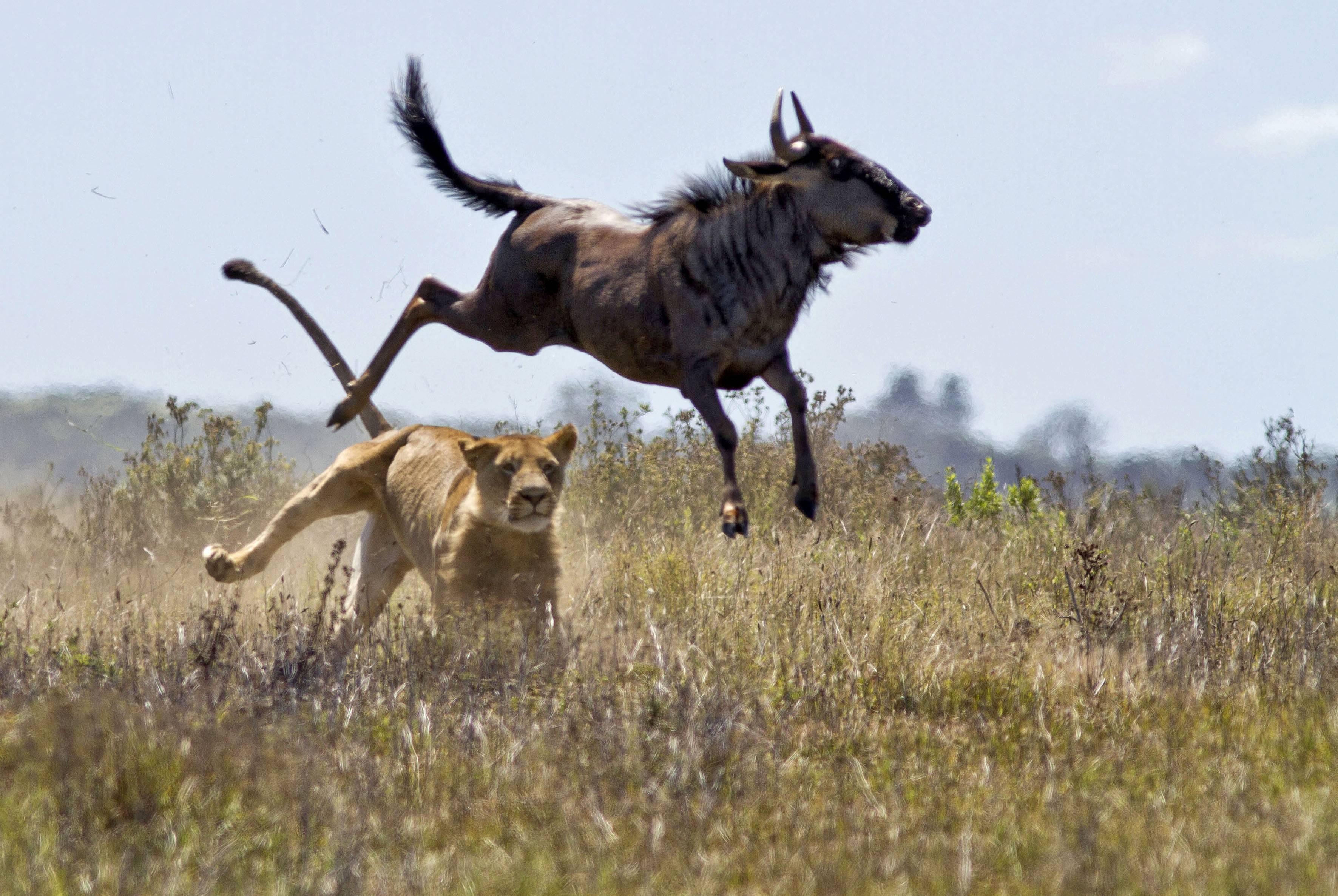Антилопа животное описание