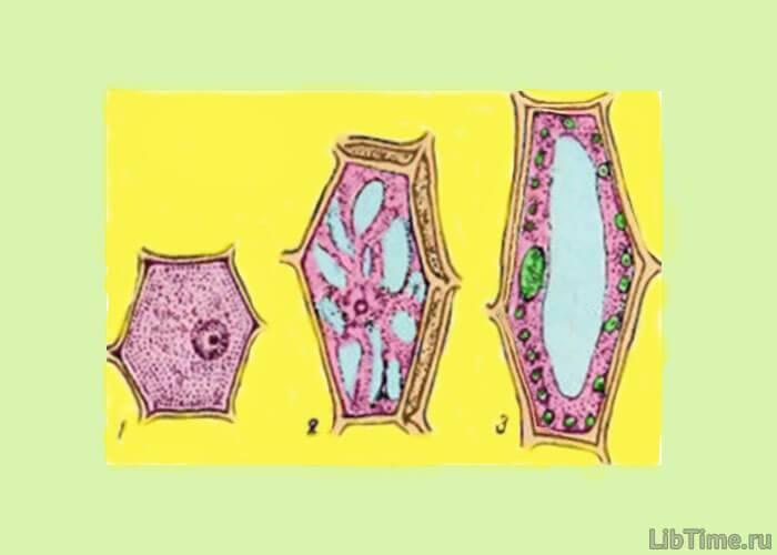 Схема строения клетки растения
