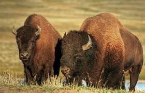 Как выглядит бизон