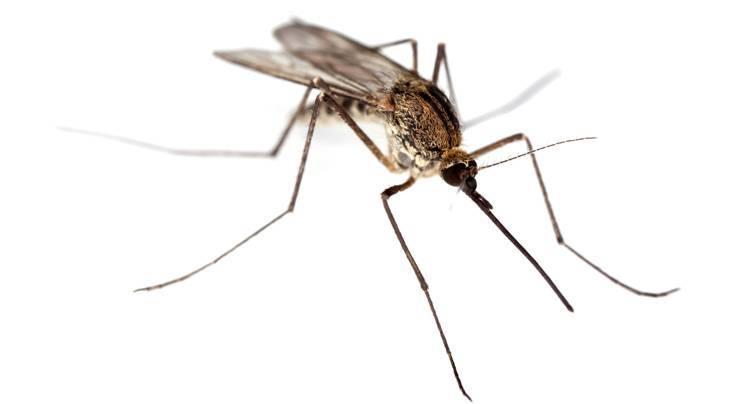 Срок жизни комара