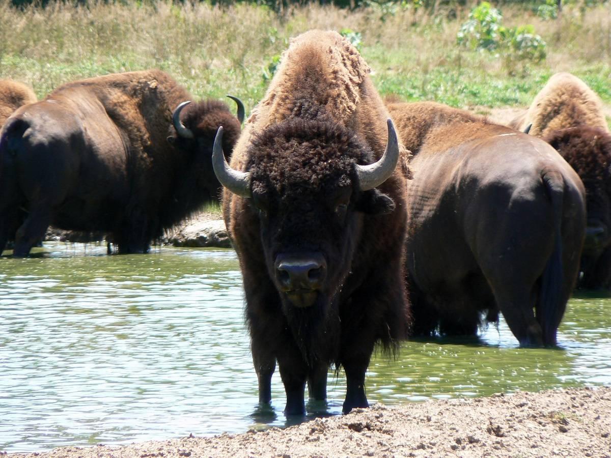Где водятся бизоны