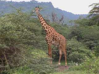 Как жираф пьет воду