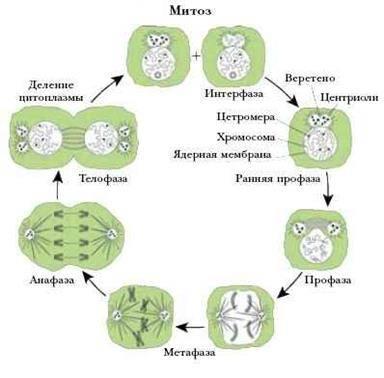 Складки внутренней мембраны митохондрий называются