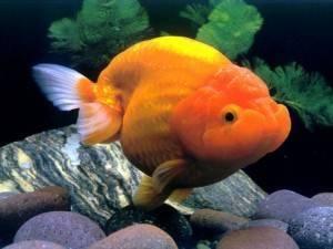 Рыба с выпученными глазами