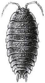 Покриви тіла ракоподібних