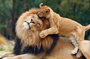 Масса взрослого льва