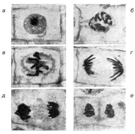 Фазы деления клетки таблица