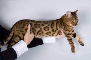 Леопардовый котенок