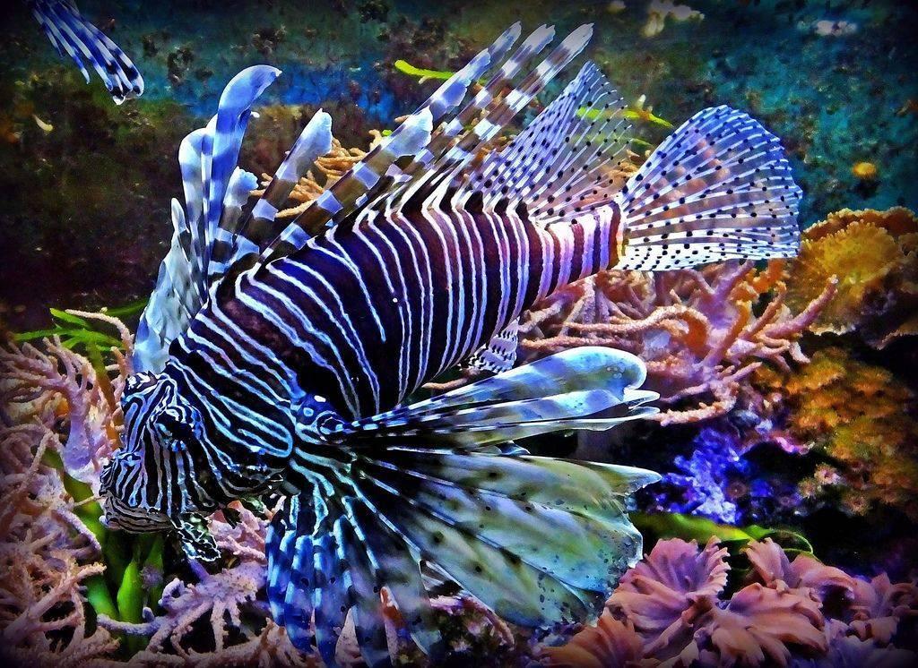 Рыба с ядовитыми шипами