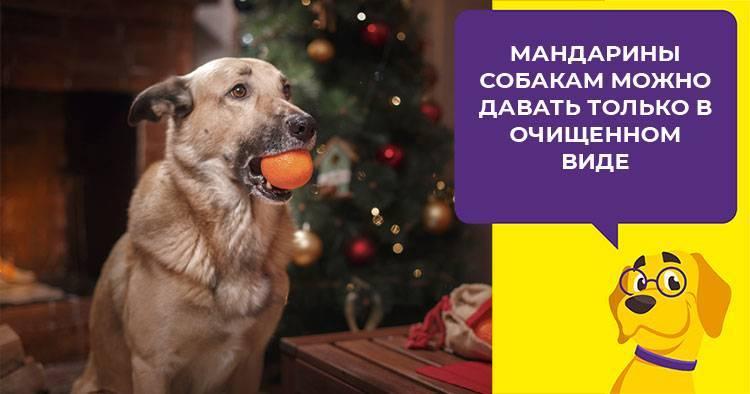 Можно ли собакам мандарины
