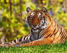 Сообщение на тему тигр
