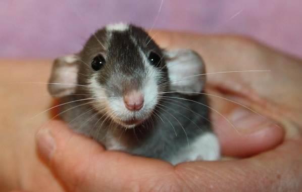 Породы декоративных крыс с фото и описанием