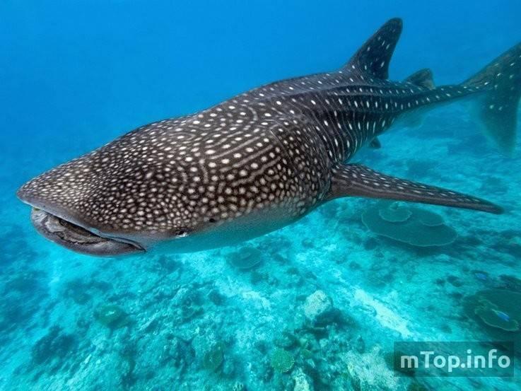 Самая большая акула на земле