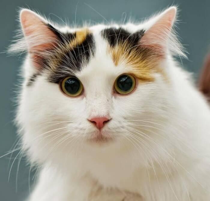 Топ самых красивых кошек мира