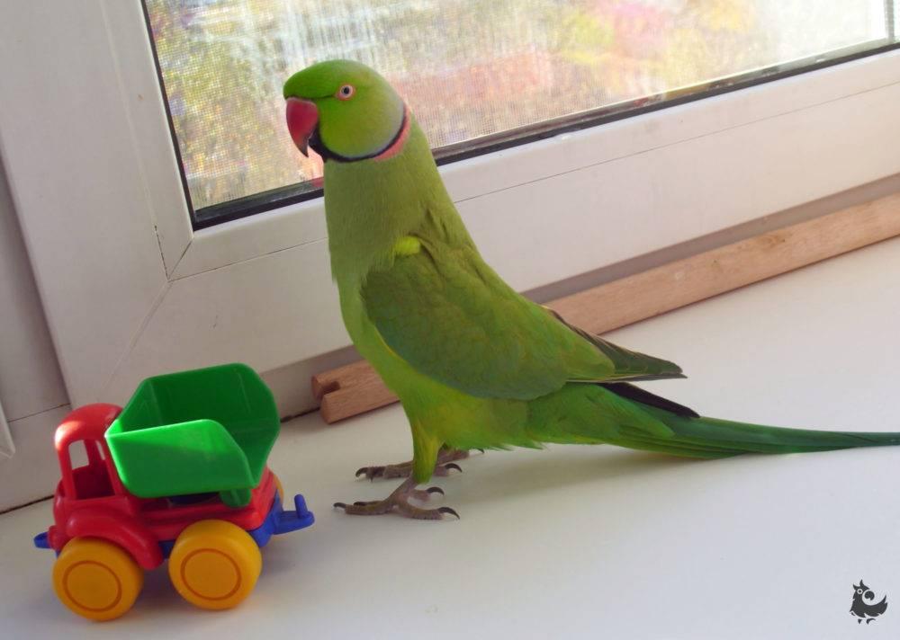 Сколько живут ожереловые попугаи дома