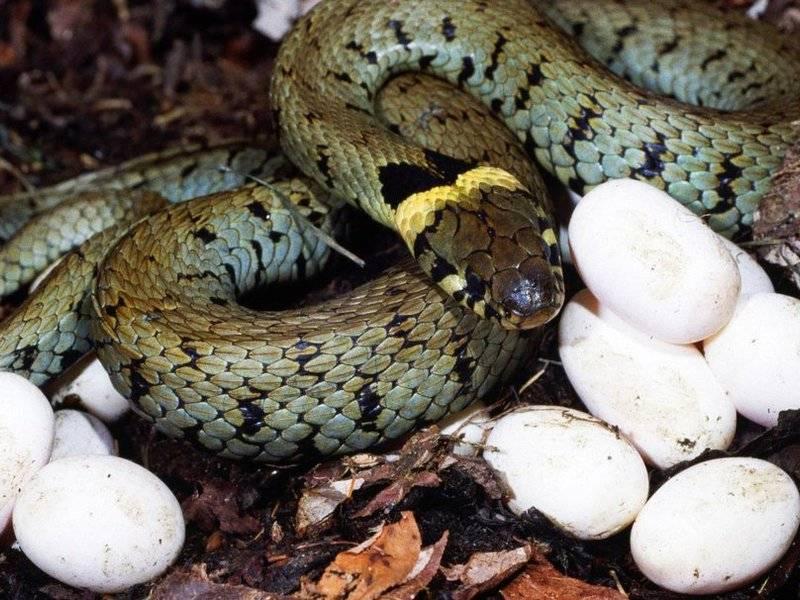 Как размножаются змеи видео