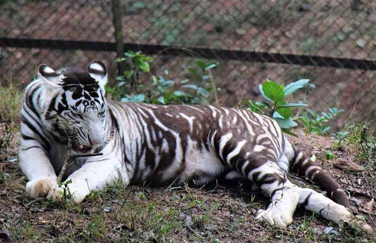 Где обитает тигр материк